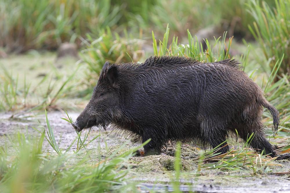 Die Zahl der Wildschweine zu reduzieren ist extrem schwierig