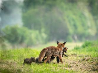 Endlich dürfen Hessenjäger wieder Fuchsbabys jagen