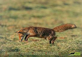 07 Wildtierkalender 2022 Füchse.JPG.JPG