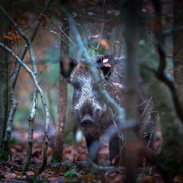Keiler im Unterholz - gegen die Jagd