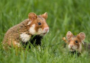 Gefährdung des Feldhamsters durch Mäusegift - Beschwerde bei der EU