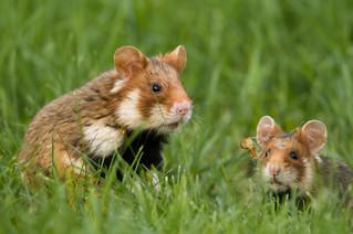 Durch den Einsatz von Mäusegift auf den Feldern werden auch Hamster und andere Tiere getötet. Bild: Berndt Fischer