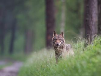 Nationalpark Bayerischer Wald: Wölfe entlaufen - Erläuterung der Maßnahmen