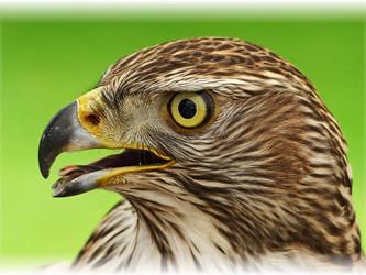 Aufruf eine Jägers zur Jagd auf den Habicht: Strafanzeige