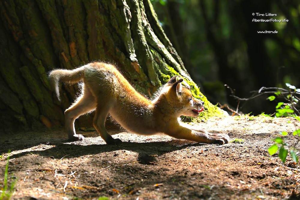 Fuchswelpe in der Sonne beim Yoga