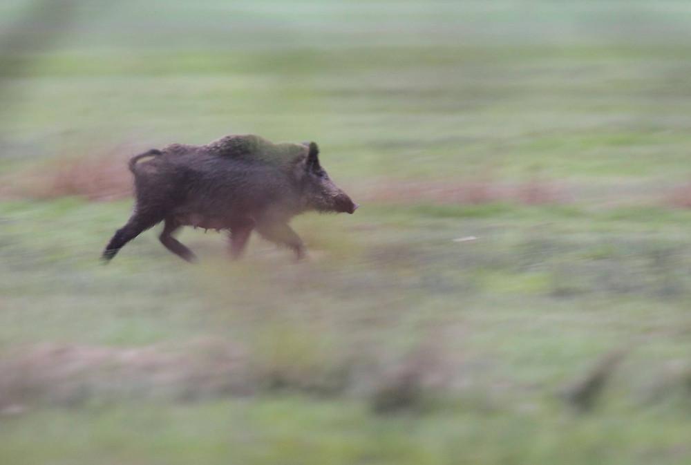 Wildschweinsau läuft übers Feld