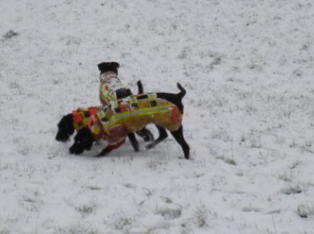 Hundemeute hetzt Fuchs