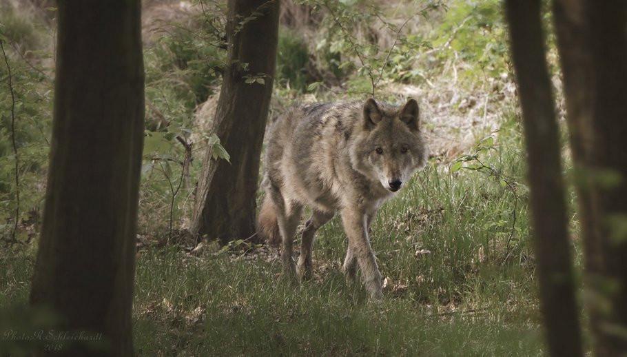 Wolf ins Jagdrecht Niedersachsen