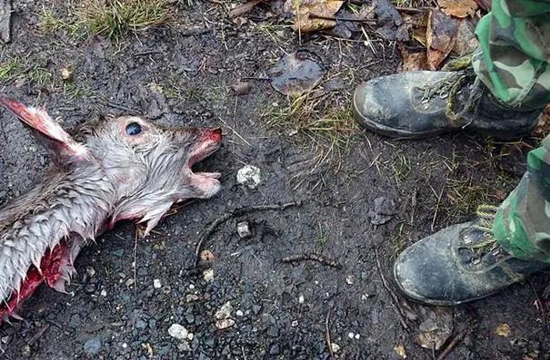 Bauchschuss statt Blattschuss - bei Drückjagden werden Wildschweine und Rehe häufig schwer verletzt