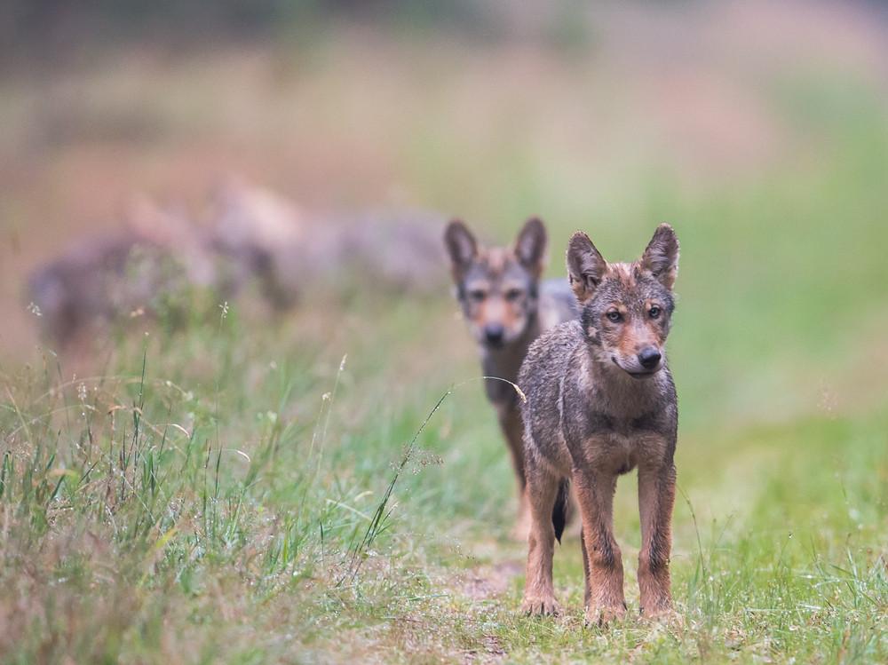 junge Wölfe sind neugierig
