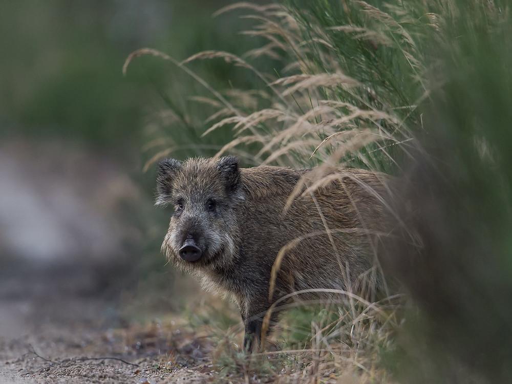 Wildschwein kommt aus der Deckung