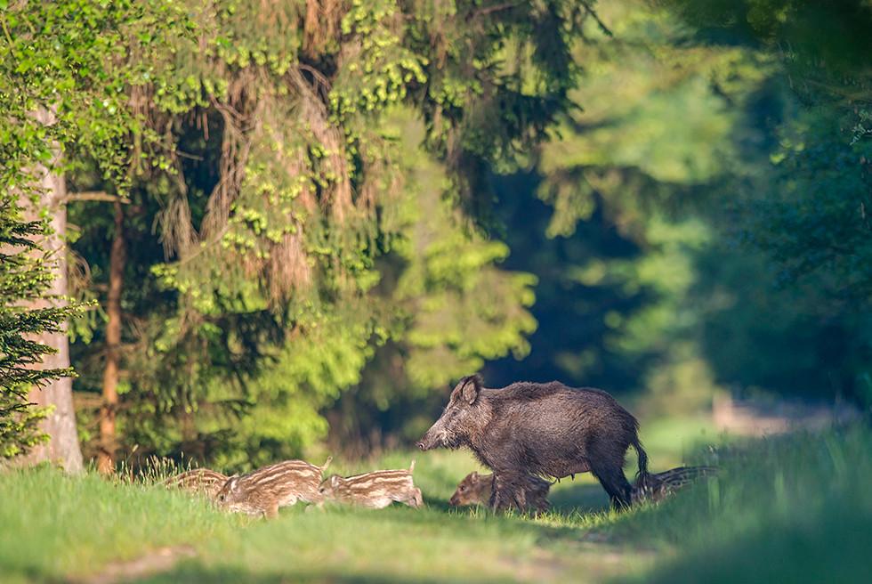 Wildschweinrotte quer den Waldweg