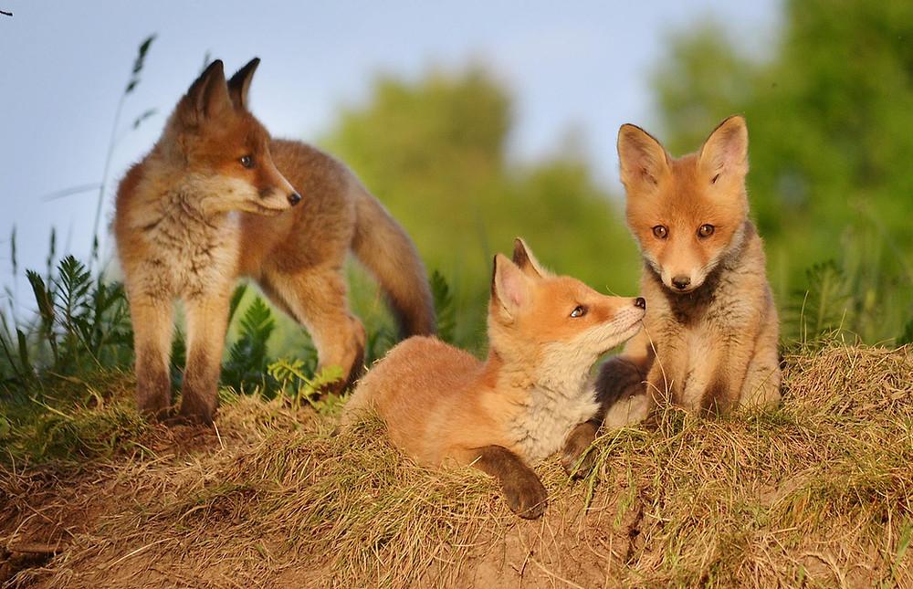 junge Fuchswelpen am Bau