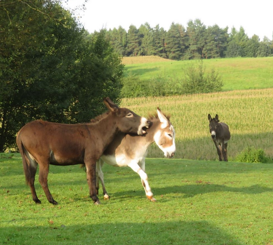 Esel auf dem Gnadenhof