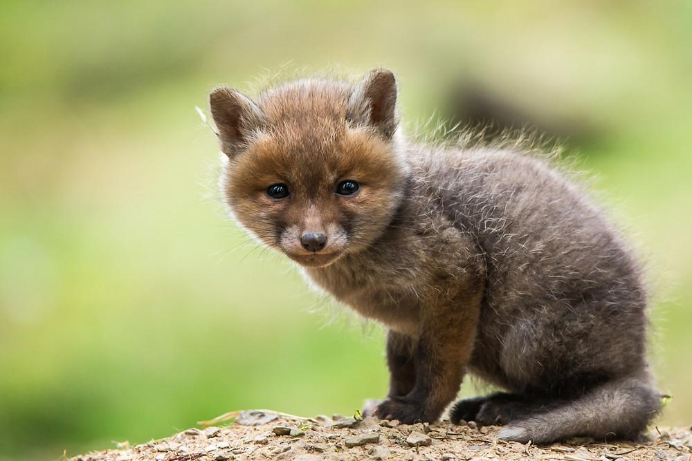 Junger Fuchswelpe