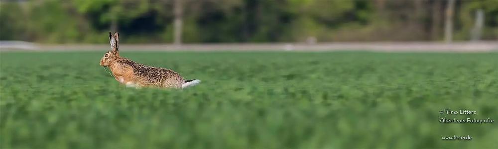 gesunde Feldhasen kriegt der Fuchs nicht