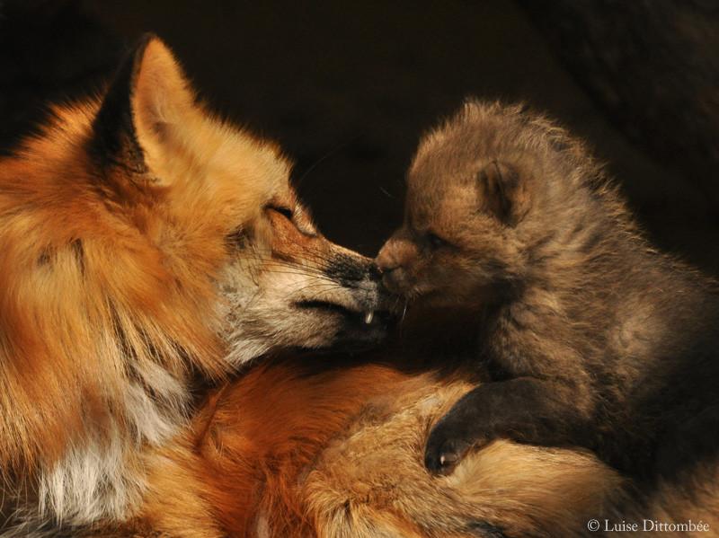 Fuchs und Welpe