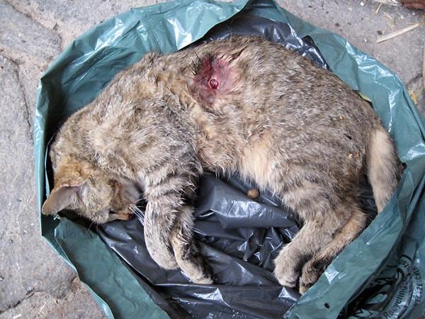 """Tote Hauskatze, getigert, durch Jäger """"entnommen"""""""