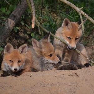 Intensive Fuchsjagd erhöht den Fuchsbandwurm-Befall