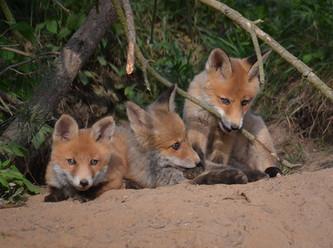 Jäger lügen: Intensive Fuchsjagd erhöht den Fuchsbandwurm-Befall