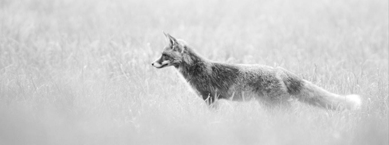 Fuchs schwarzweiß