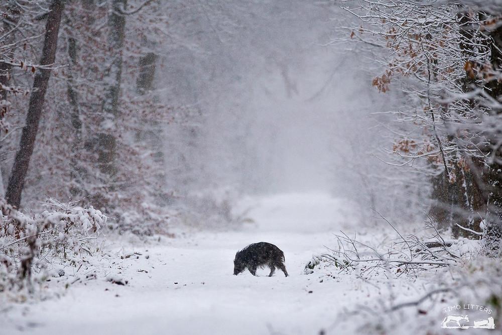 Wildschwein auf beschneiter Lichtung