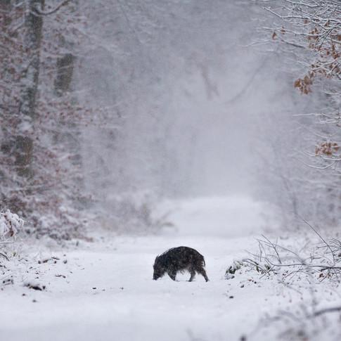 Wildschwein auf schneebedeckter Lichtung - Wildschweine schützen