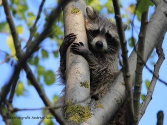 Waschbären: erfolgreiche Einbürgerung - nutzlose Jagd
