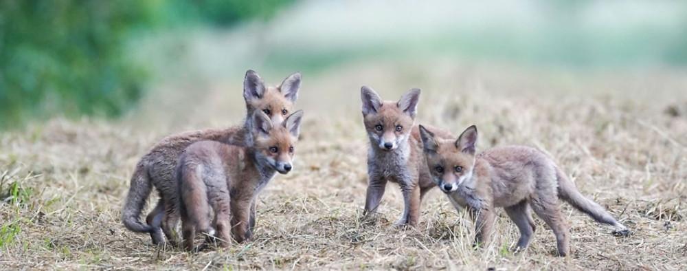 Fuchswelpen am Feldrand
