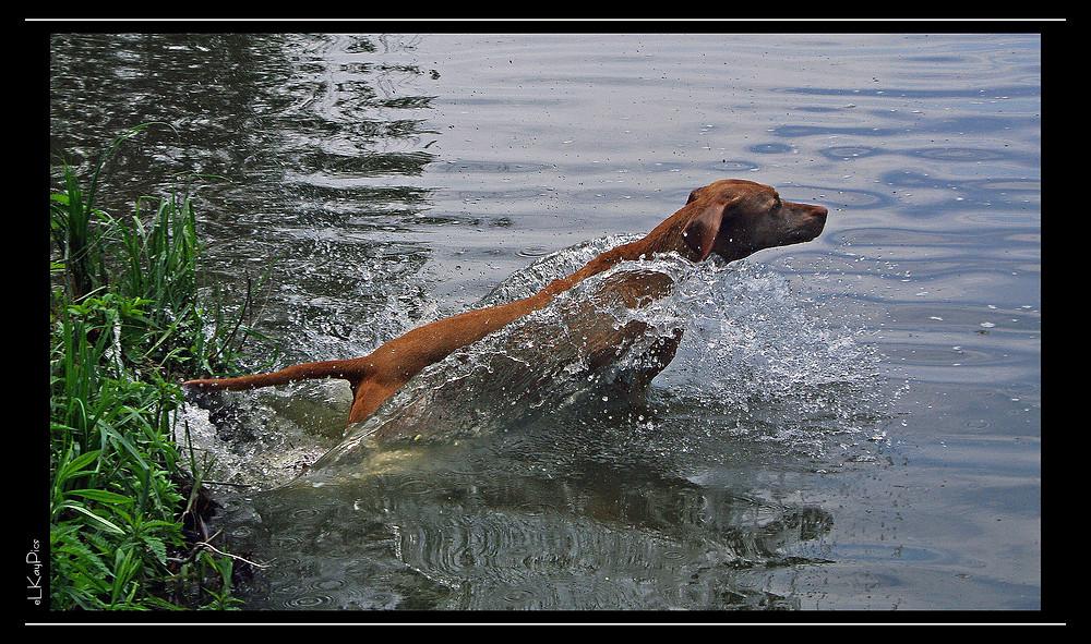 Jagdhund beim Sprung ins Wasser
