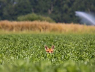 Wildtierschutz Deutschland im bundesweiten Aktionsbündnis Fuchs