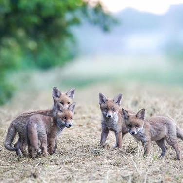 Gruppenfoto Fuchswelpen - gegen Fuchsjagd