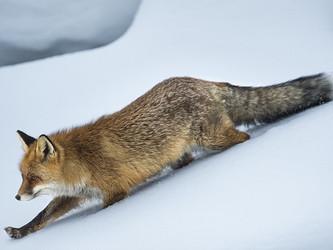 Organisierte Tierquälerei – in vielen Revieren beginnen die Fuchswochen