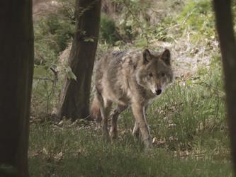 EU leitet Pilotverfahren gegen deutsche Wolfsgesetzgebung ein