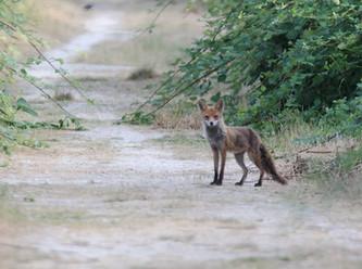 Wichtige Info für Gesundheitsämter: Maßnahmen gegen Fuchsbandwurm und gegen Lyme-Borreliose