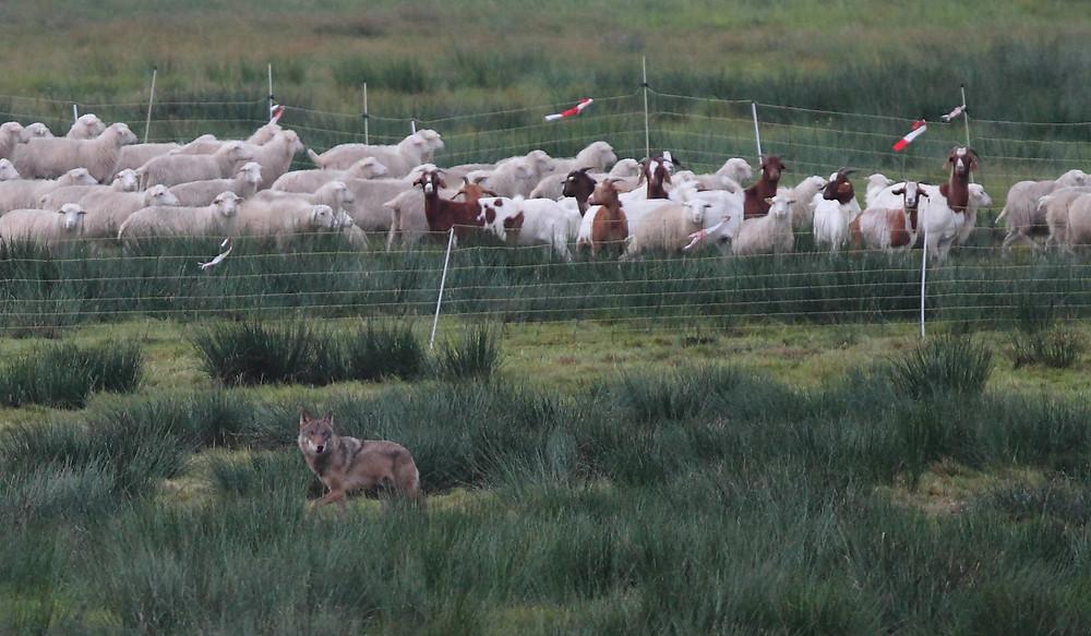 Wolf passiert eine Herde mit Schafen und Ziegen