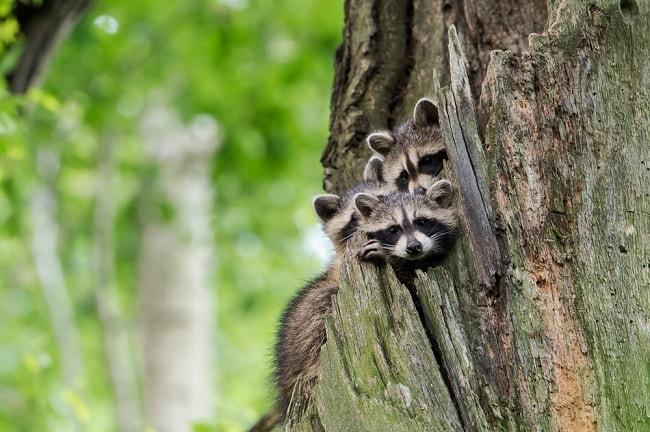 Junge Waschbären in der Baumhöhle