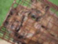 Fuchswelpen in der Falle