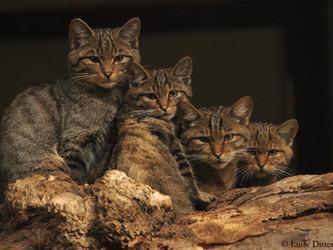 """Wildkatzen - liebenswerte """"Waldtiger"""" sind vom Aussterben bedroht"""