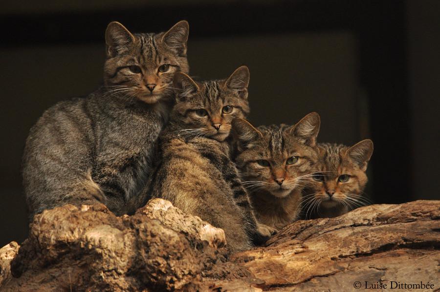 Vier junge Wildkatzen