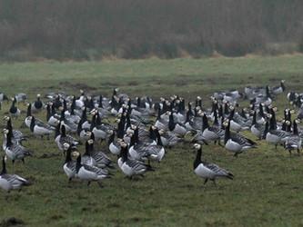 Gänsejagd im EU-Vogelschutzgebiet Rheiderland/Ostfriesland