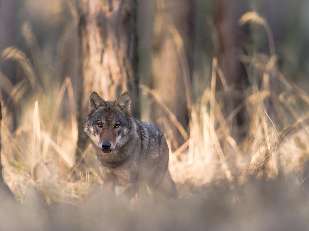 Wolfsrüde in Sachsen
