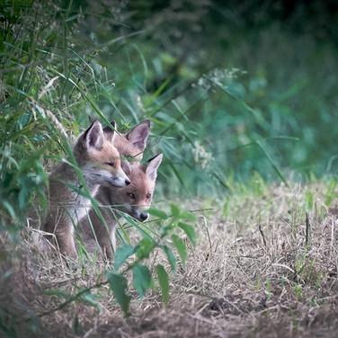 Fuchswelpen am Feldrand - Füchse schützen