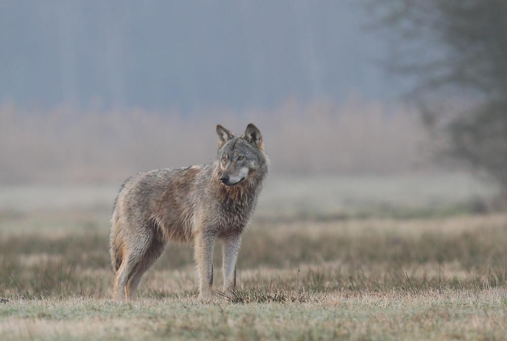 Wolf in der Altmark
