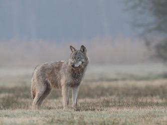Erfolgreiches Wolfsmanagement: Sachsen macht es vor