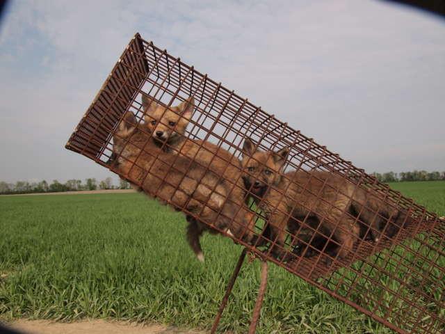 junge Füchse in der Falle am Bau