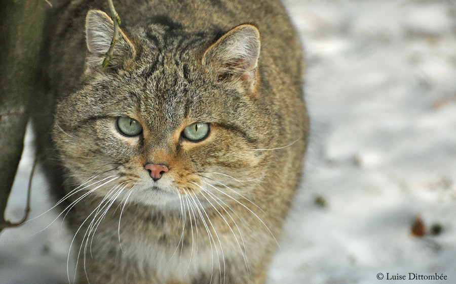 Wildkatze Kuder