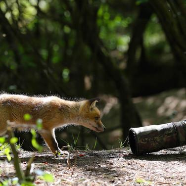 Neugieriger Jungfuchs - Schutz für Füchse