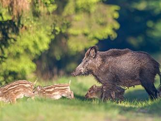 Wildschweine Baden-Württemberg: Hauk an tierschutzkonformen Lösungen nicht interessiert