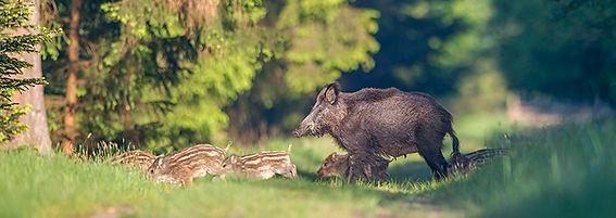 Wildsau mit Frischlingen